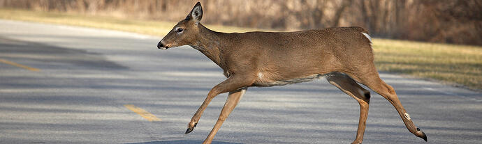 white-tailed deer crossing a road