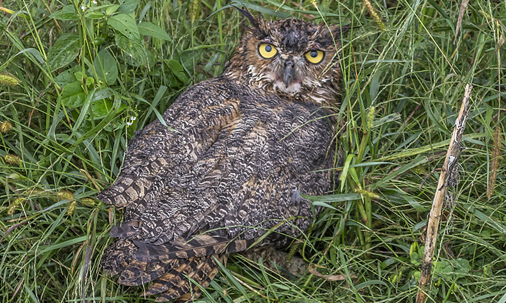 injured-owl-duane-marski