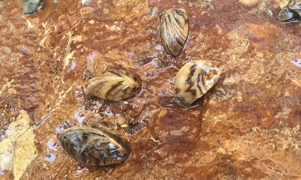 zebra-mussels-JennySmith