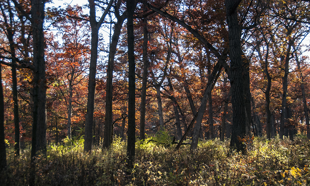 oaks-fall