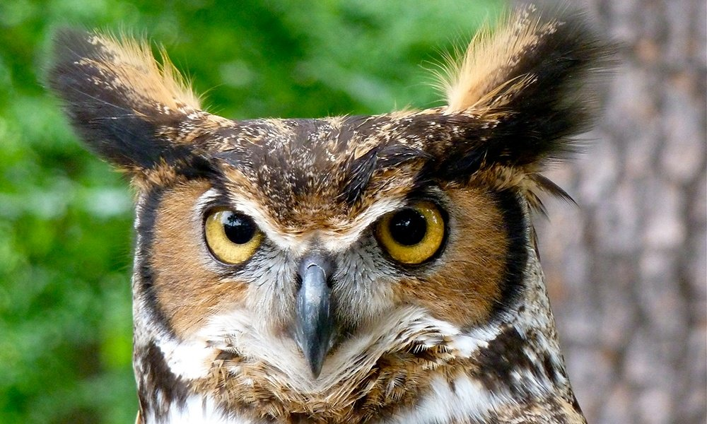 great-horned-owl-ErikDunham
