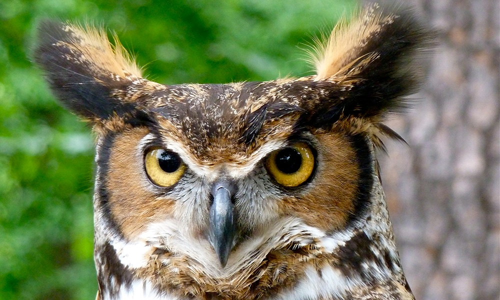 great-horned-owl-ErikDunham