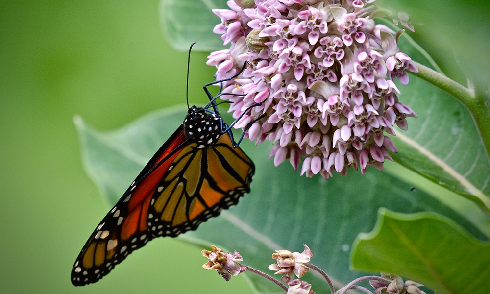 monarch-on-milkweed