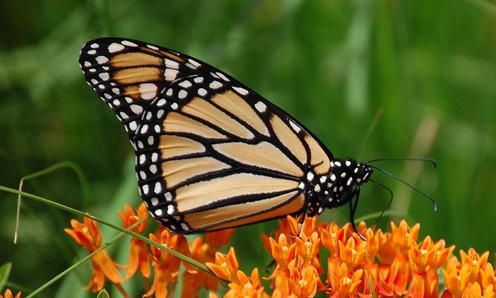 Monarch-Danaus-plexippus-GlennPerricone