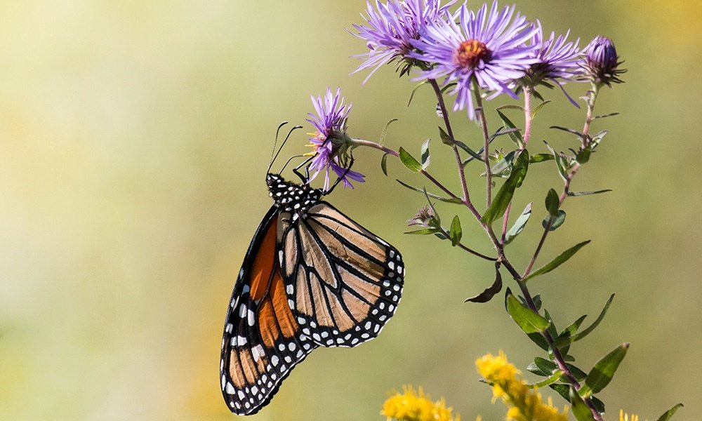 monarch-aster-feature
