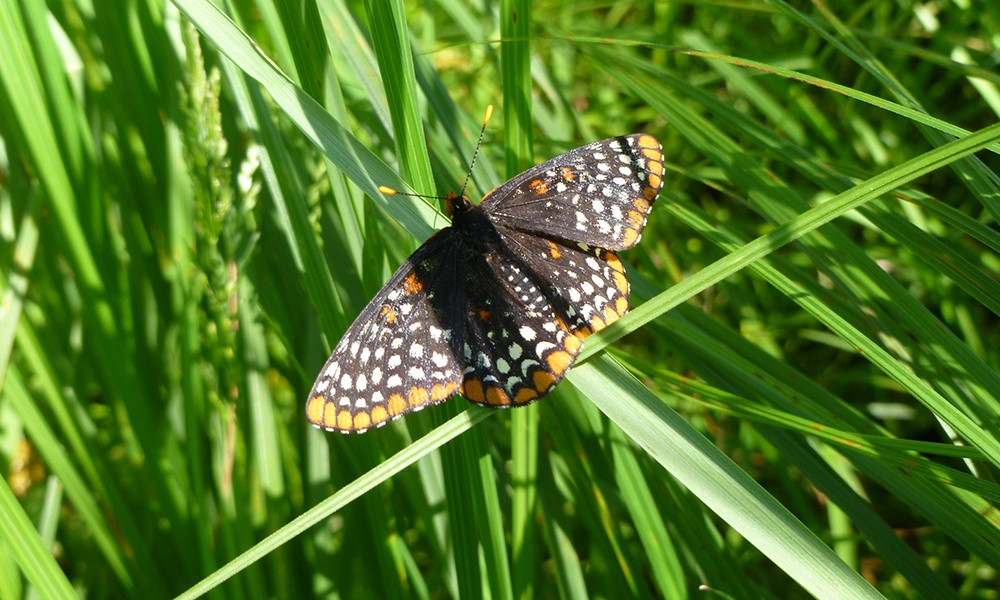 Baltimore-checkerspot