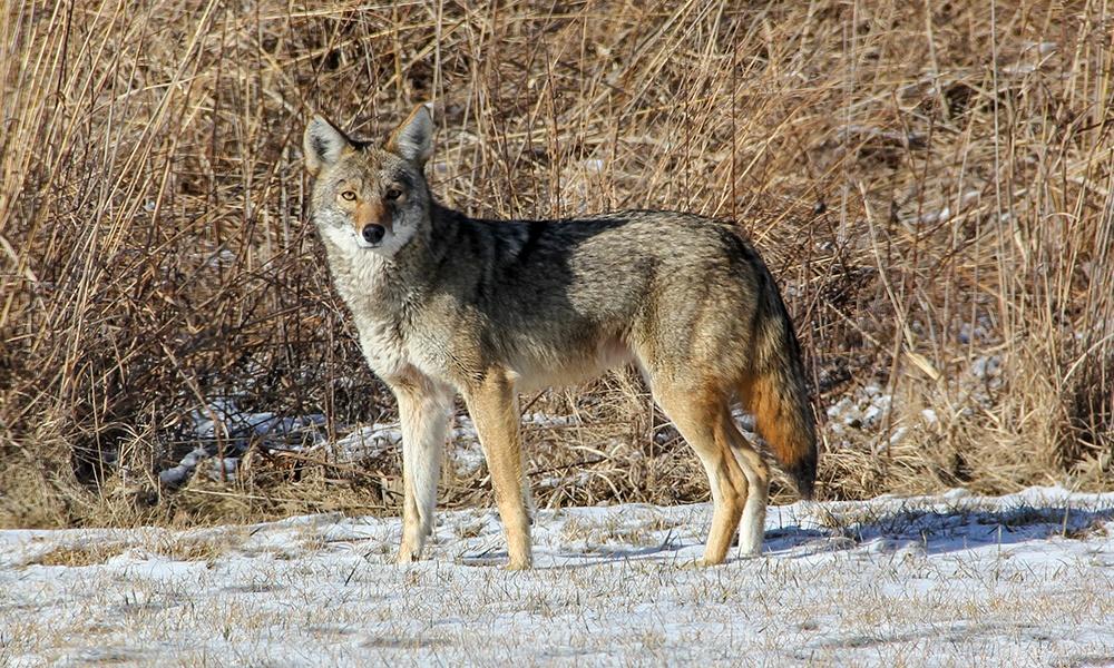 Coyote-1000x600