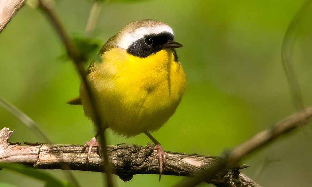 common-yellowthroat-warbler-DavidDavis