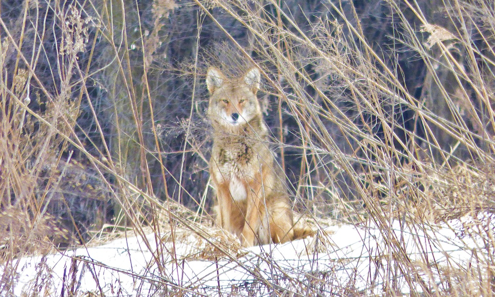 coyote-Mallard-Lake.jpg