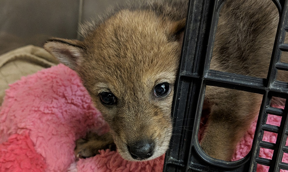 coyote-pup-update-1