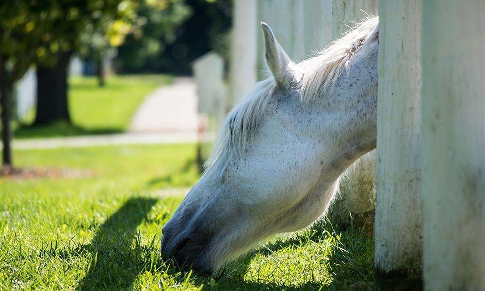 gray-horse-grazes