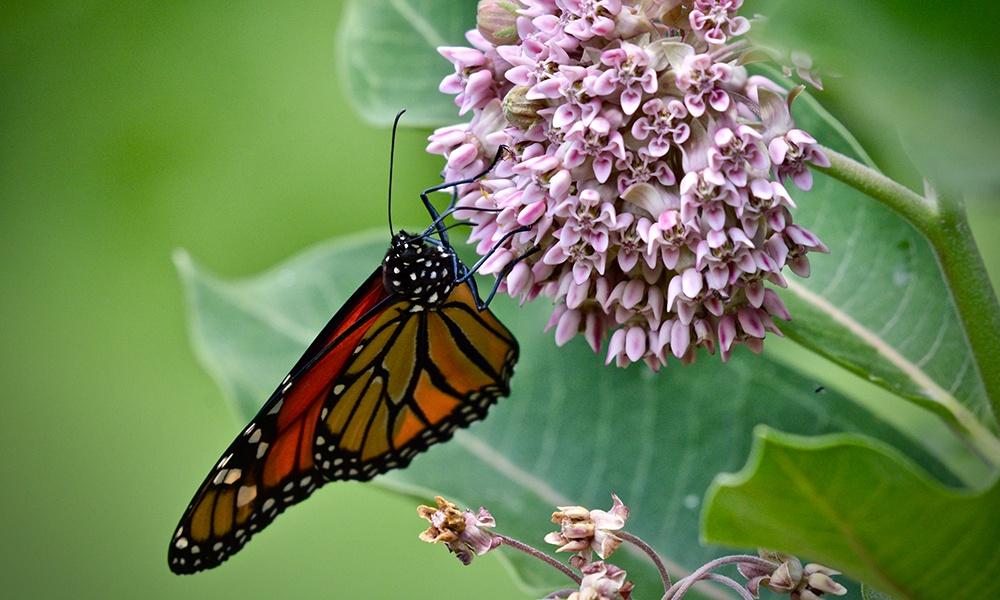 monarch-milkweed