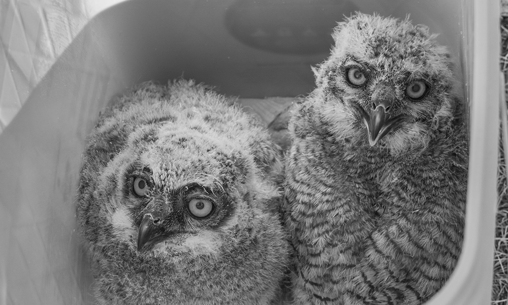 owlets-BW