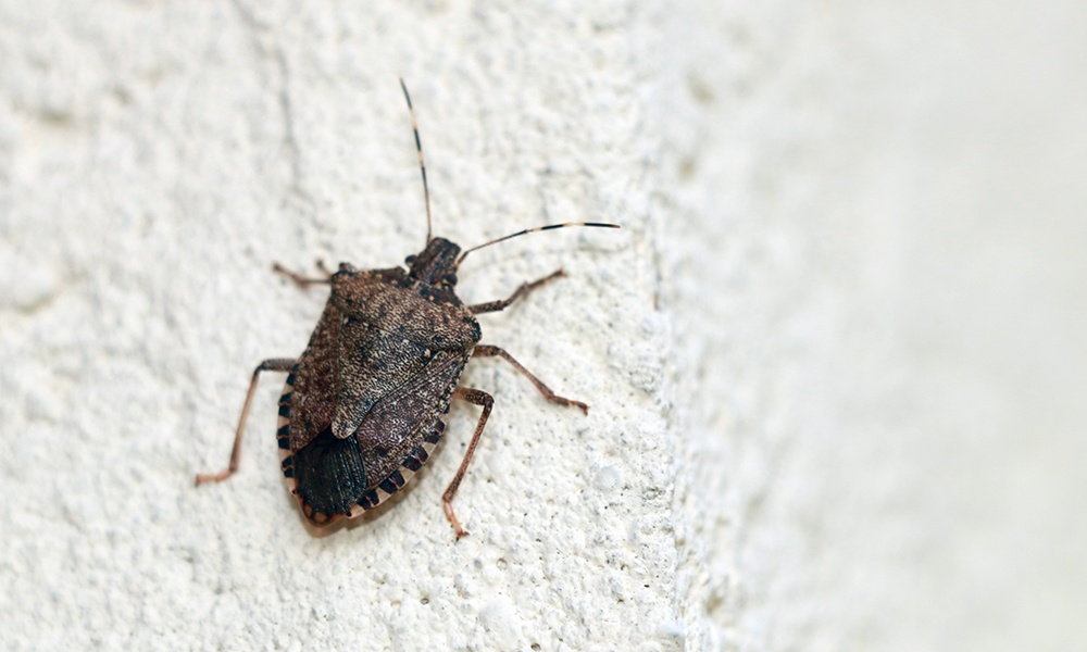 stink-bug-wall-exterior