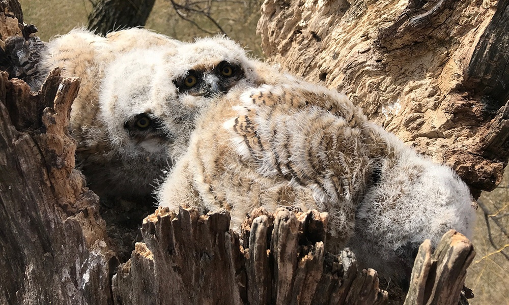 three-owlets-in-nest.jpg