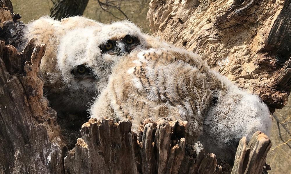 three-owlets-in-nest.jpg